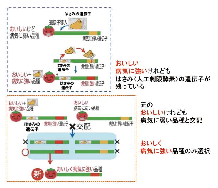 図表3 ゲノム編集技術を用いた品種改良の例で外来遺伝子の残存がないもの